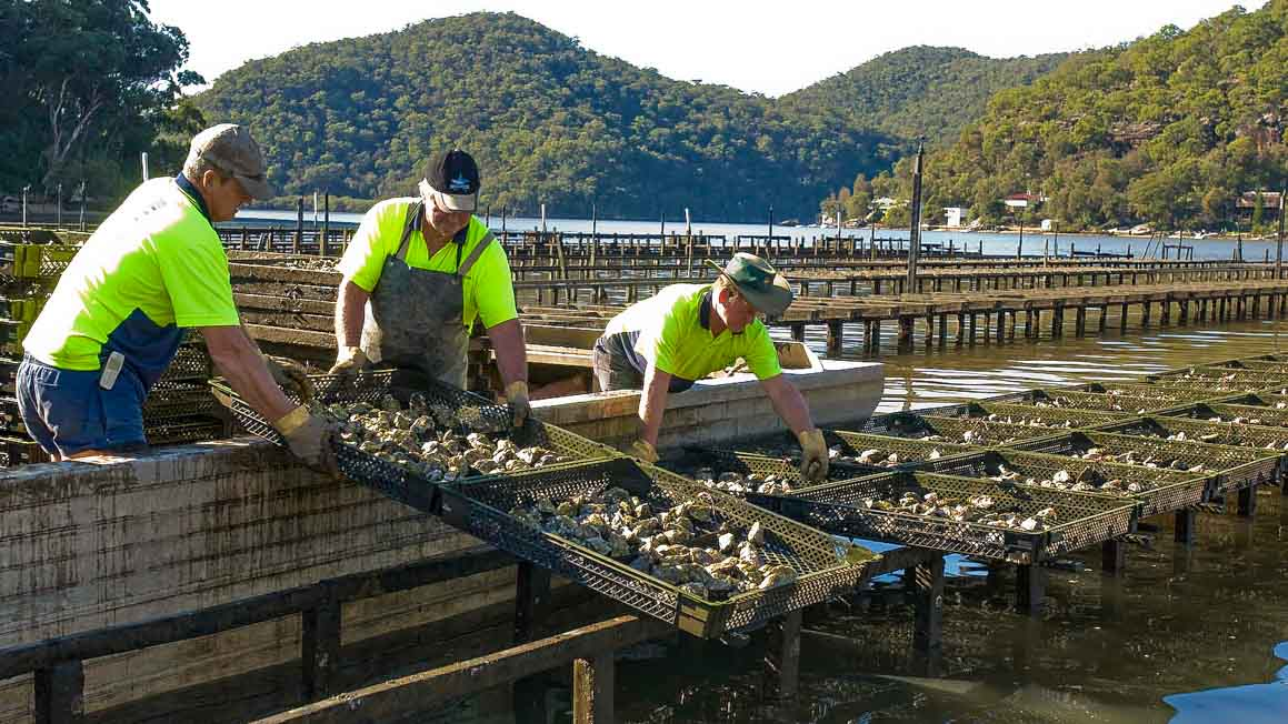 Harvesting washed oysters from leases in Coba Bay, Berowra Creek, NSW