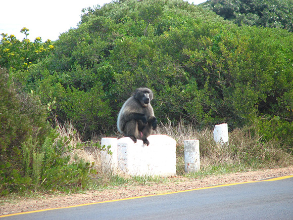 A Chacma Baboon sitting near a road