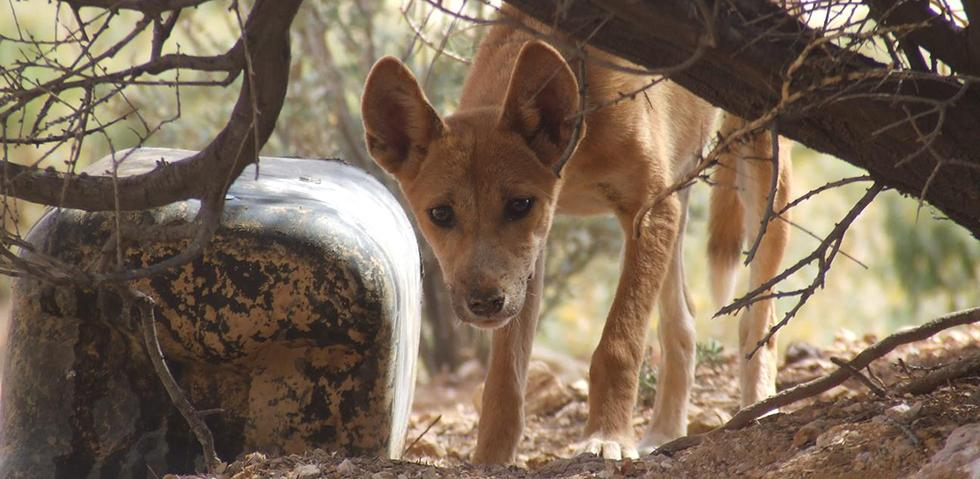 Dingo pup at Evelyn Downs