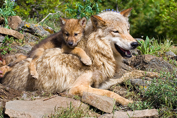 Gray wolves lying down in Idaho National Park