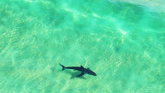 Shark swimming in green waters