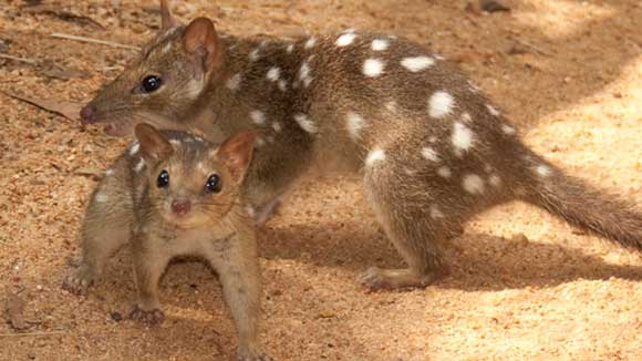Two quolls