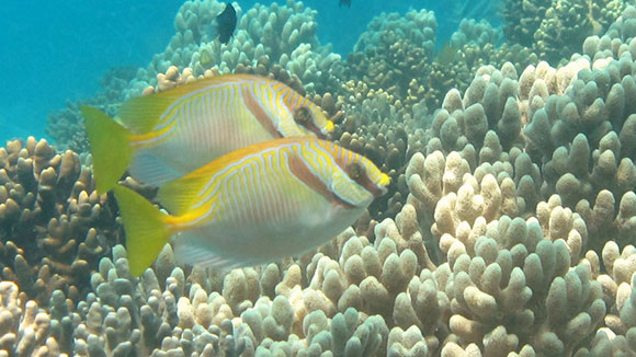 Two yellow tailed fish - rabbit fish