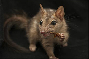 Dr Jonathan Webb, with the University of Melbourne, Territory Wildlife Park, Kakadu National Park, Department of Land Resource Management, Australian Wildlife Conservancy, is preventing and reversing population declines of northern quolls