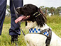 A NSW police detector dog sitting in a field with a police officer