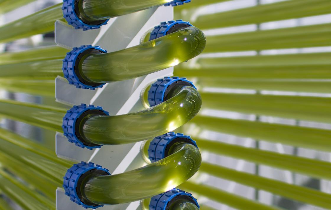 green algae tubes close up