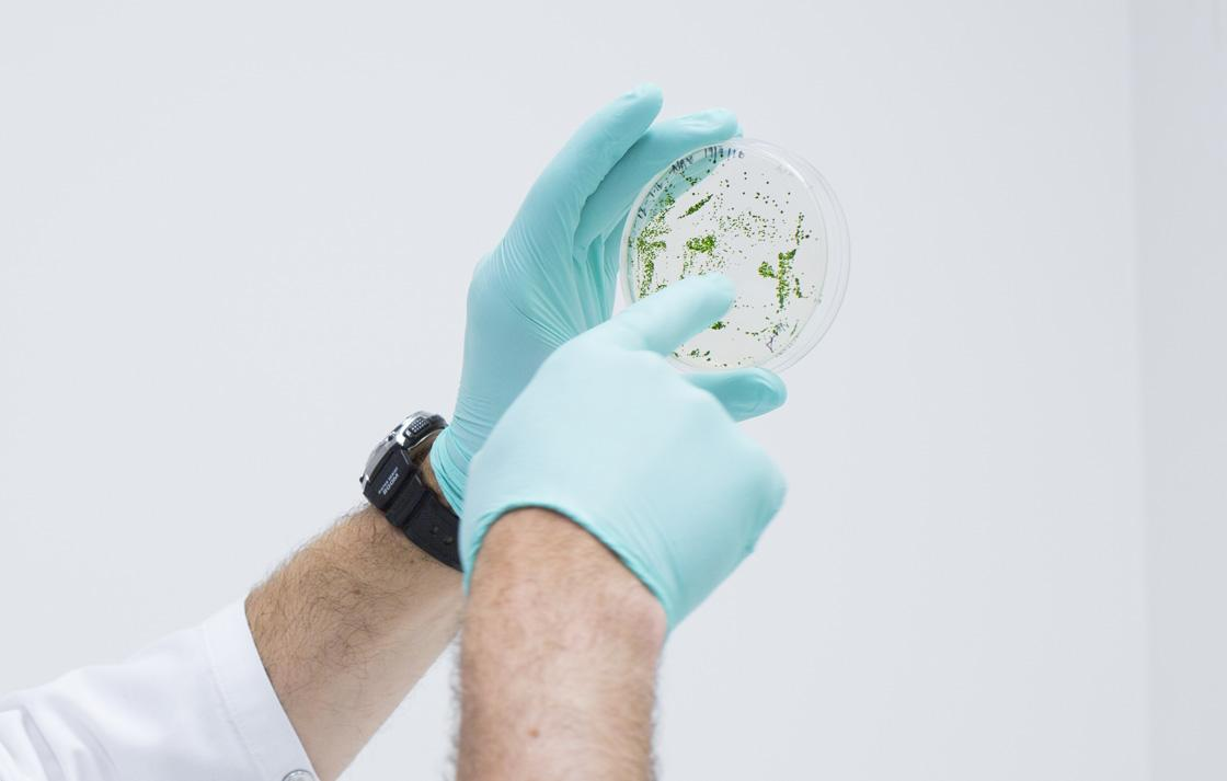 hands inspecting algae in a petri dish