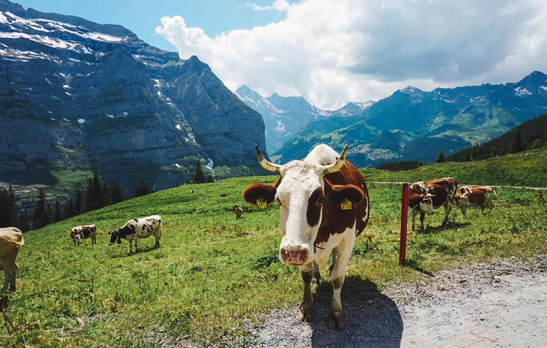FASS ICS Switzerland study tour a large cow in the mountains!