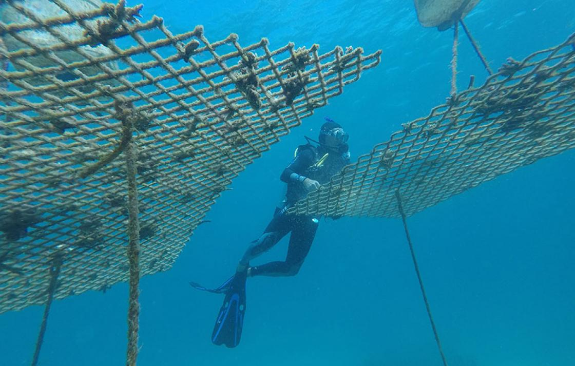 Diver maintaining coral nurseries