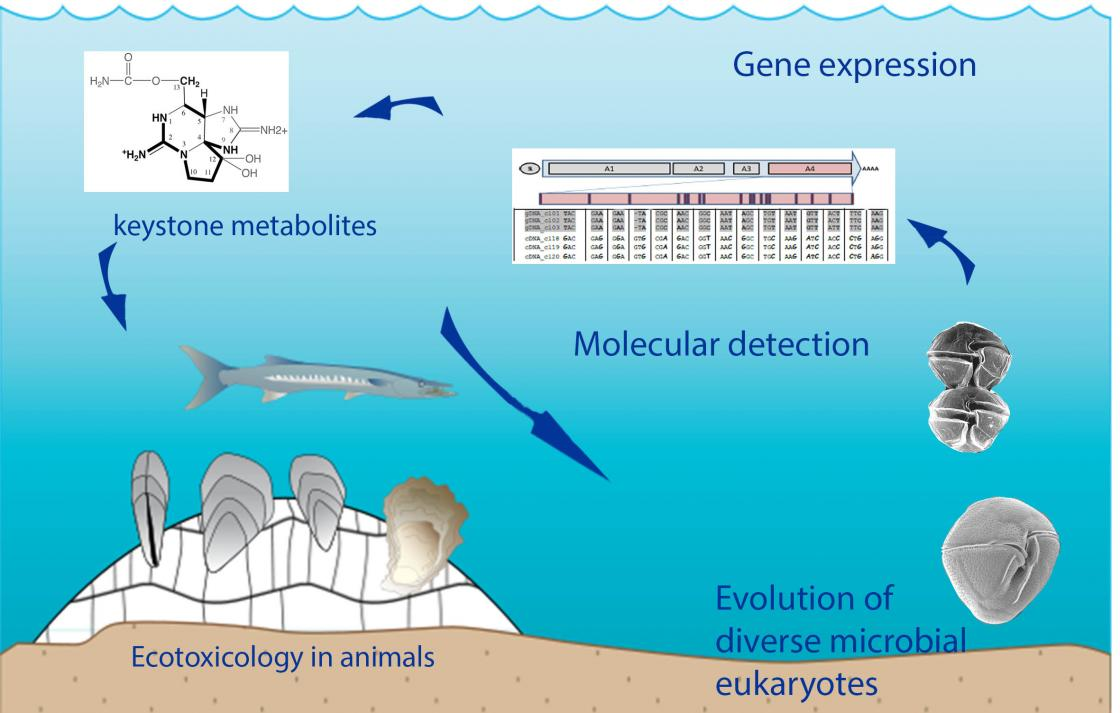 9.Conceptual diagram of the research in our group, investigating the genetic, ecological and evolutionary roles of harmful biotoxins, and designing novel monitoring tools.