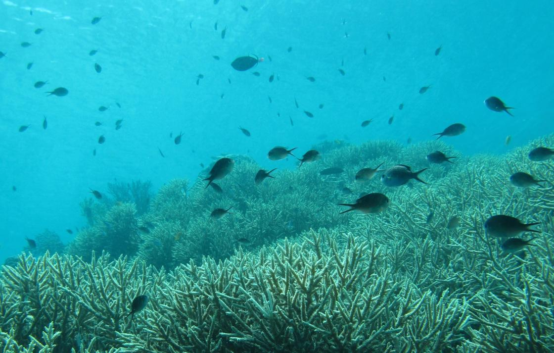 Acropora coral thickets in Indonesia with fish