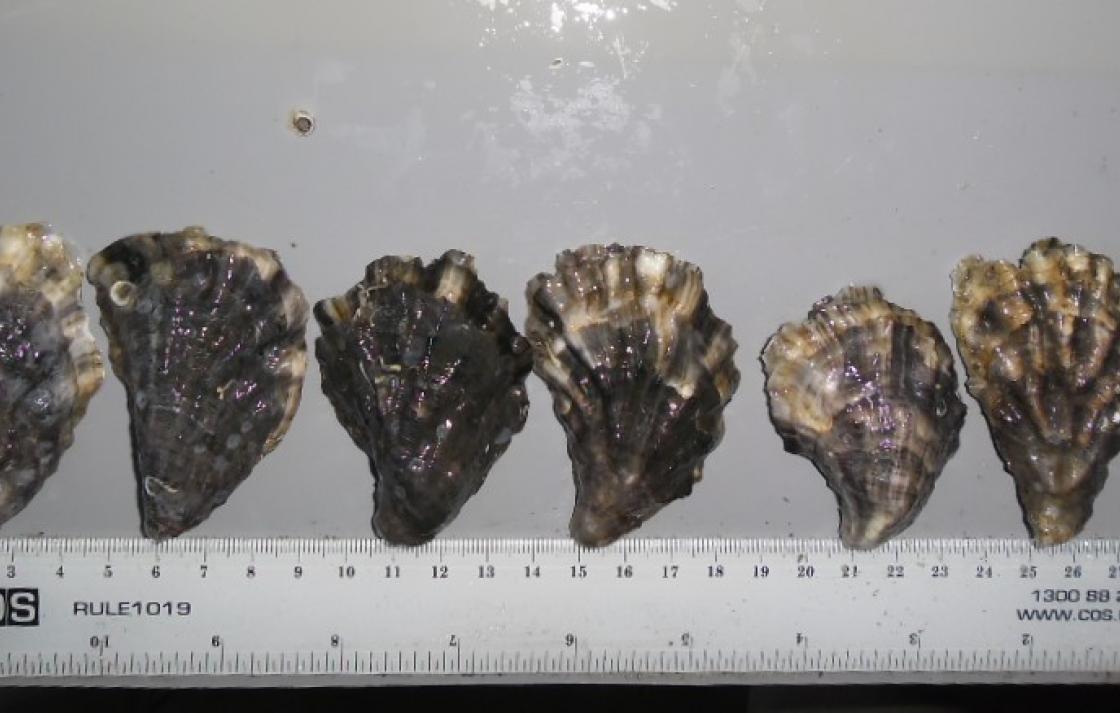 Disease resistant –selected Sydney rock oyster Saccostrea glomerata