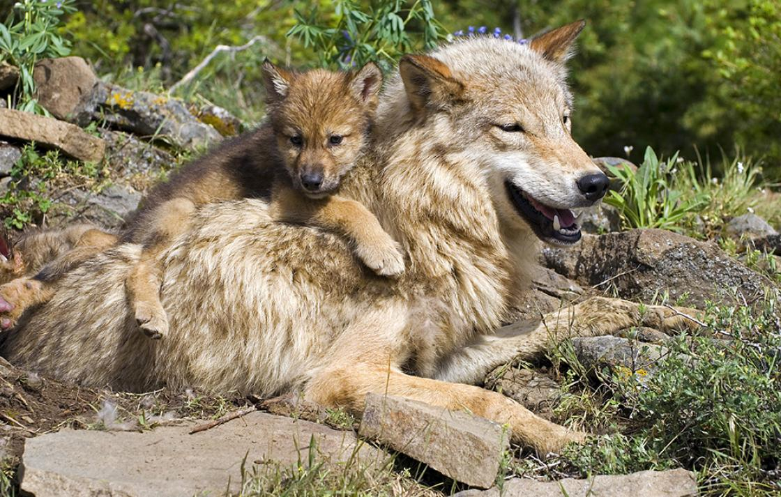 Compassiona conservation: gray wolf