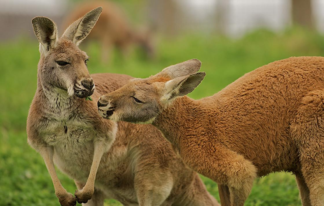 Two kangaroos eating leaves
