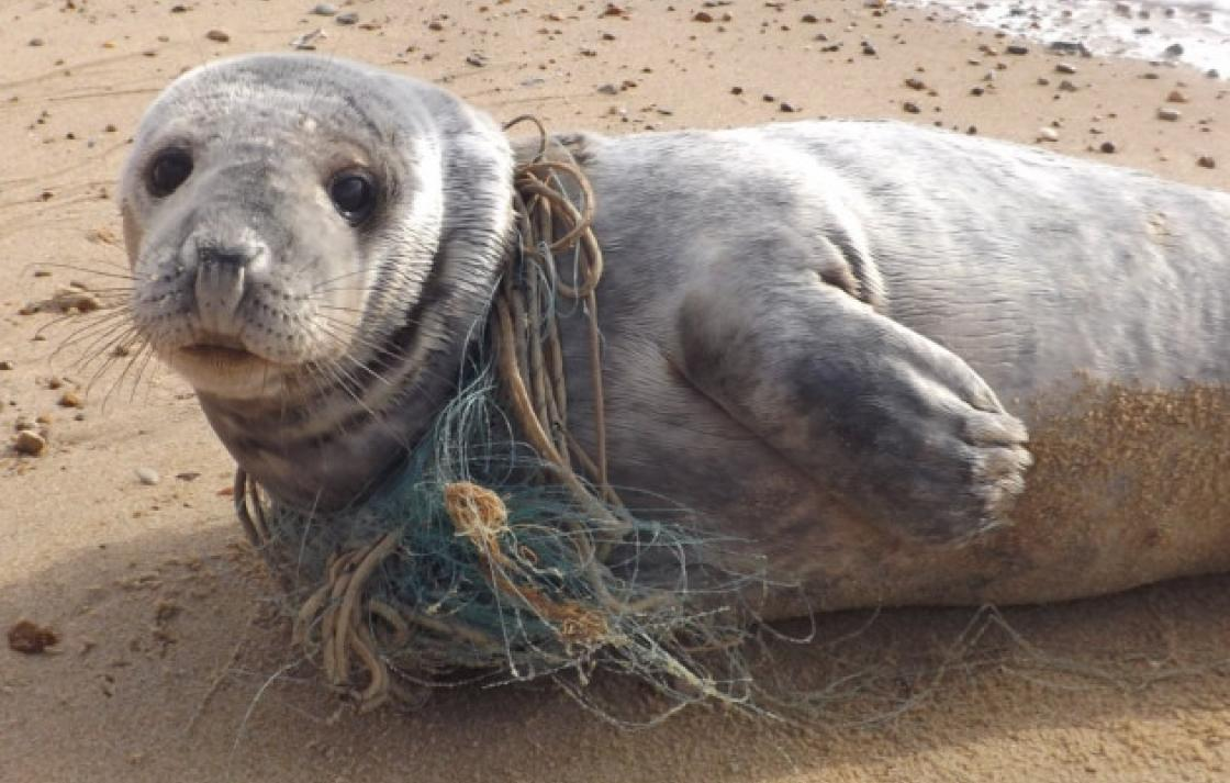 Compassionate conservation: seal