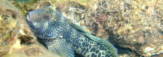 Under water close up of a spotted fish species
