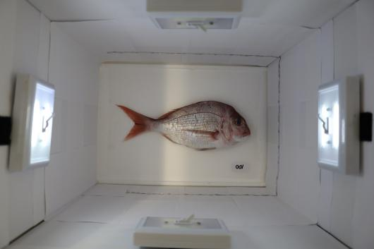 Fish inside light box being photographed before it is given a freshness score