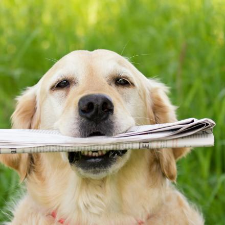 Photo of labrador with newspaper in mouth