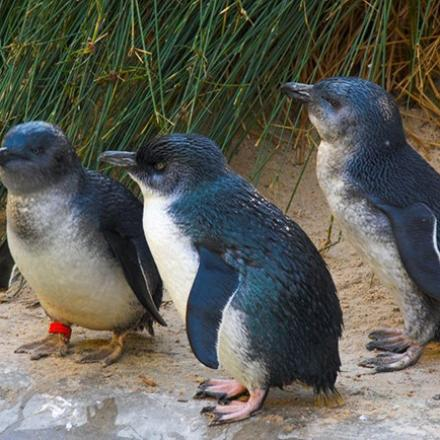 Three Little Penguins standing near water on Middle Island