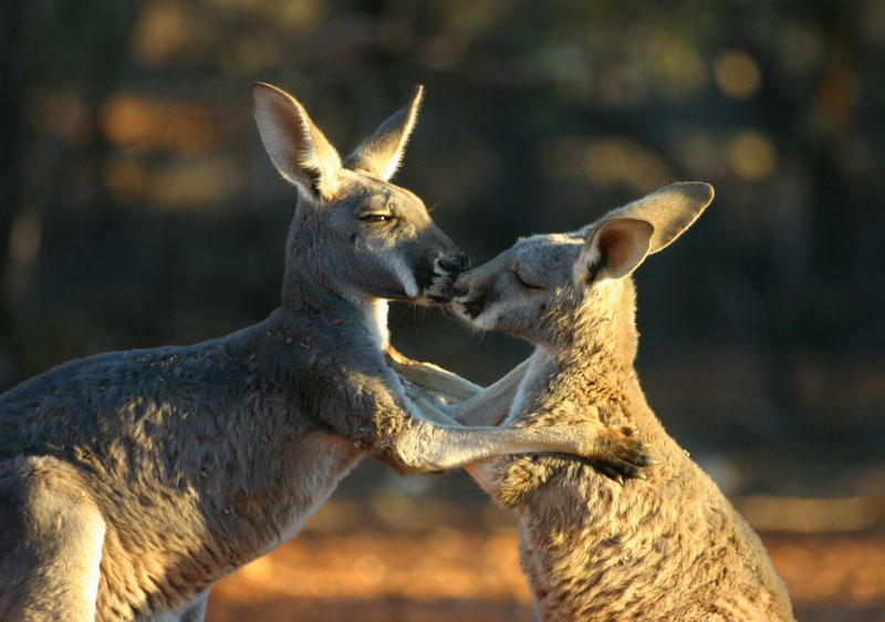 Kangaroos kissing
