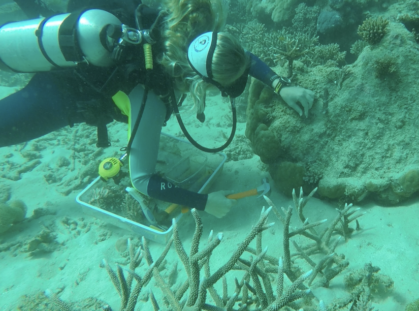 A diver attached a device to coral in the Great Barrier Reef.