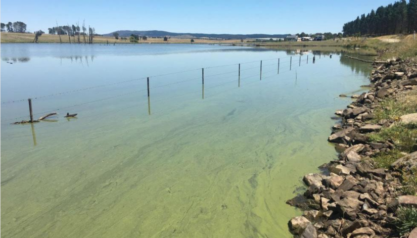Algal blooms are a feature of Australia's waterways and reservoirs, posing a risk to human and animal health