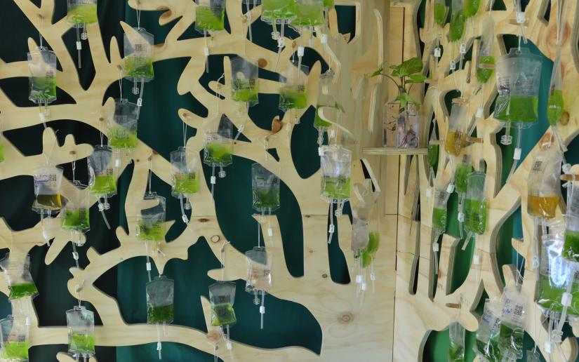Dozens of bags full of algae hang from a wooden frame shaped like a tree.