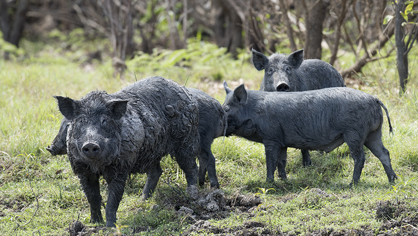 Feral pigs in muddy grass