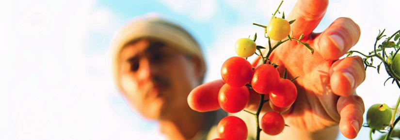 Photo of tomato picking