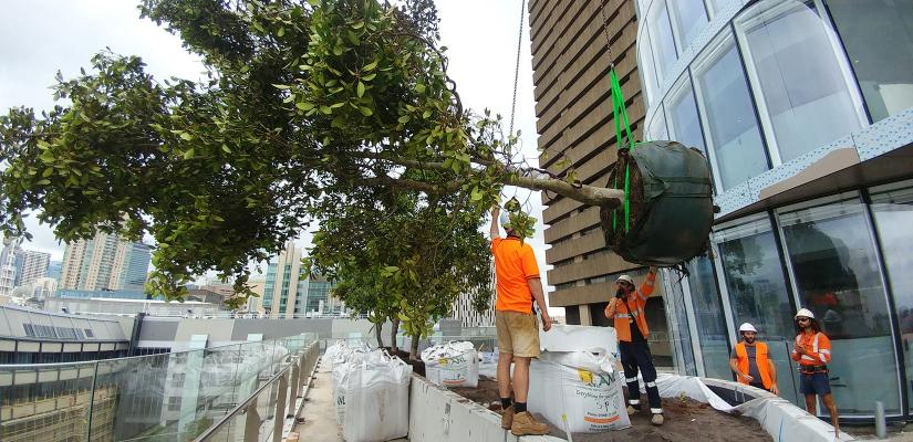A fig tree is lowered into position at UTS Central