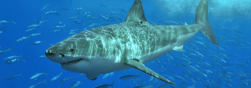 A shark swims underwater