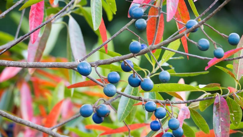 quandong fruit