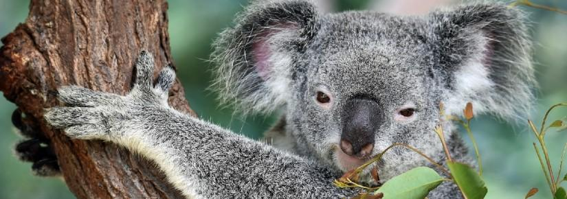 A koala grabbing a tree and looking at the camera, with leaves in the foreground