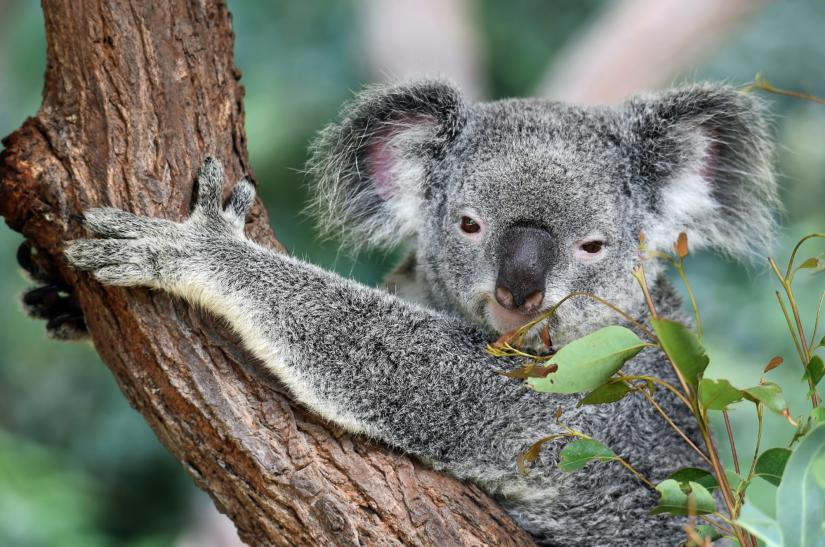 A koala grabbing a tree and looking at the camera, with leaves in the foregroun
