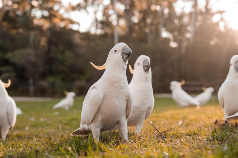 Seven white sulfur-crested cockatoos standing on grass, with two in focus in the middle