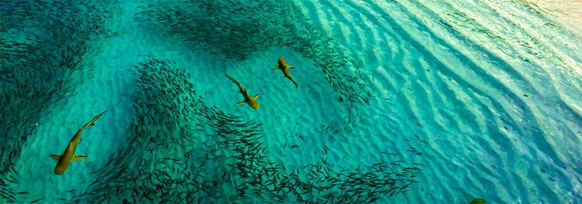 Overhead view of several sharks feeding near a beach