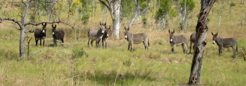 Donkeys in a wild, bushland setting.