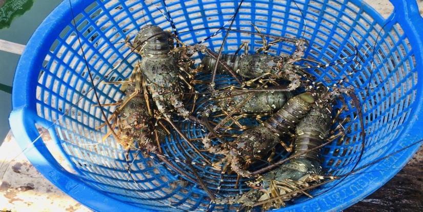 lobsters in a bucket