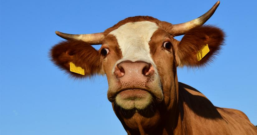 Vibrant, close-up portrait of a bull