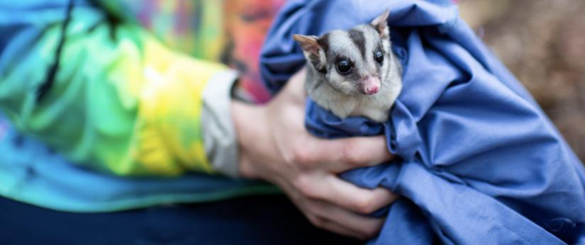 Sugar gliders are being monitored as part of UTS Science research
