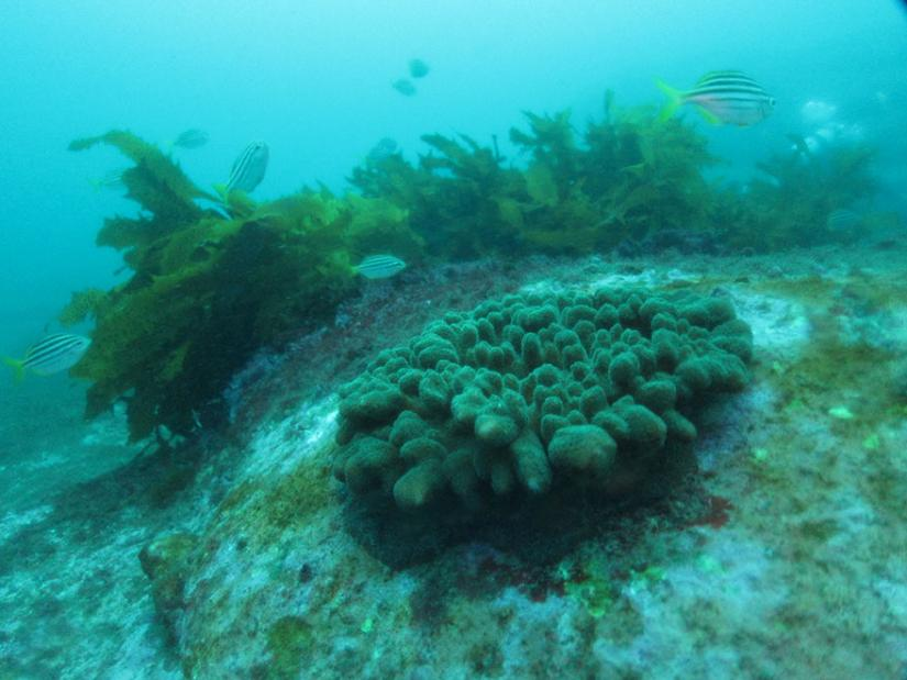 Sydney harbour corals