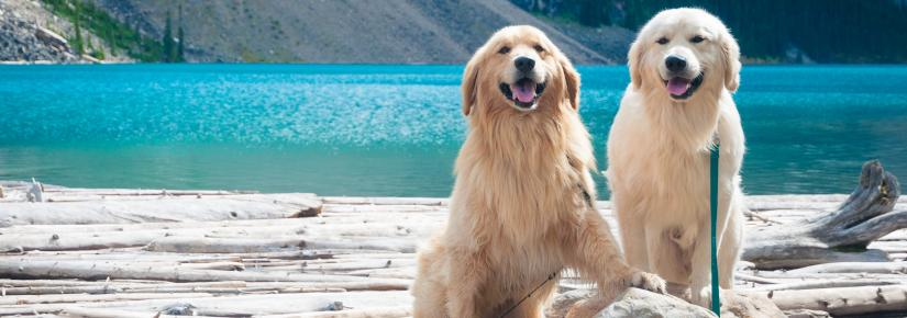 Two fluffy dogs sitting next to a body of water.