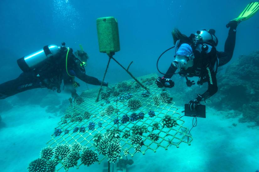Planting coral on the Great Barrier Reef
