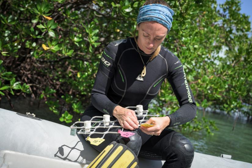 Emma Camp sets up transplantation racks in a mangrove lagoon at Low Isles