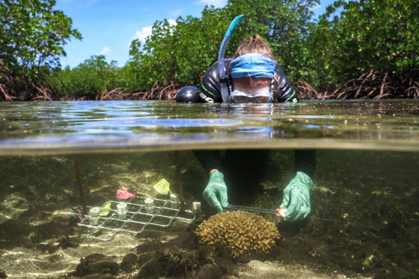 Emma Camp measures corals in a mangrove lagoon