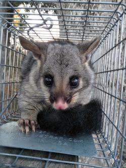 Possum in cage