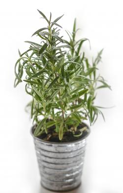 Plant in a silver tin