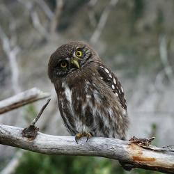 Owl tilting head and staring at the camera