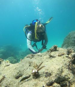 Photo of outplanting on the Great Barrier Reef